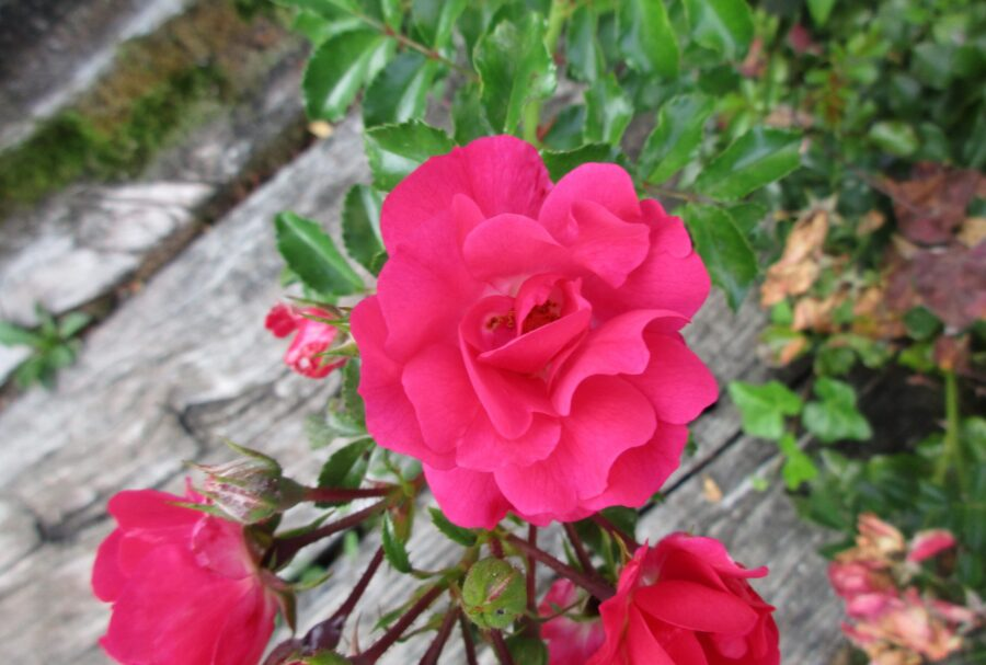 Roses: On Closer Inspection